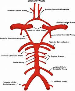 Territorial Strokes As A Tool To Learn Vascular