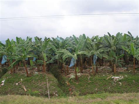 cuisine banane plantain banana production in ecuador