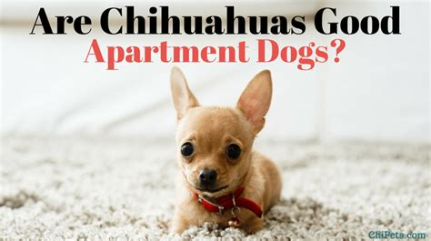 Are Chihuahuas Good Apartment Dogs?  Chi Pets