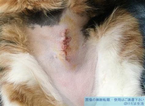 猫 避妊 手術 後