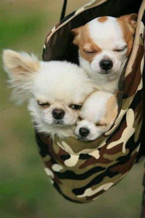 les  petits chiens qui ont la cote elevage de