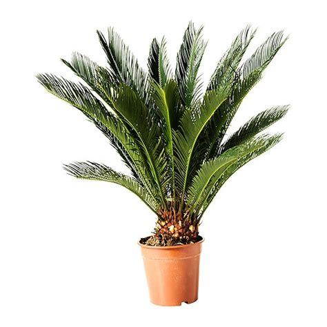 cycas revoluta en pot cycas revoluta potted plant ikea