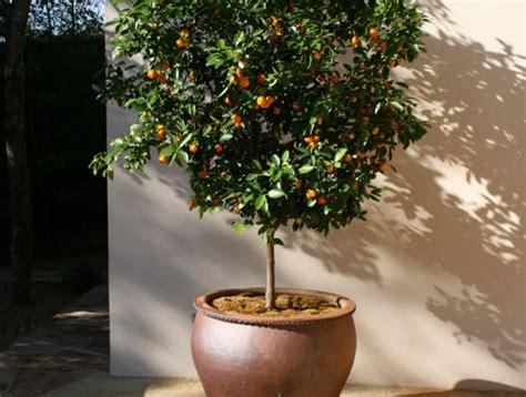 arrosage citronnier en pot agrumes culture entretien conseils