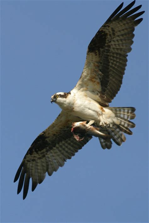 Images Of Osprey Osprey Pictures Pics Images And Photos For Your