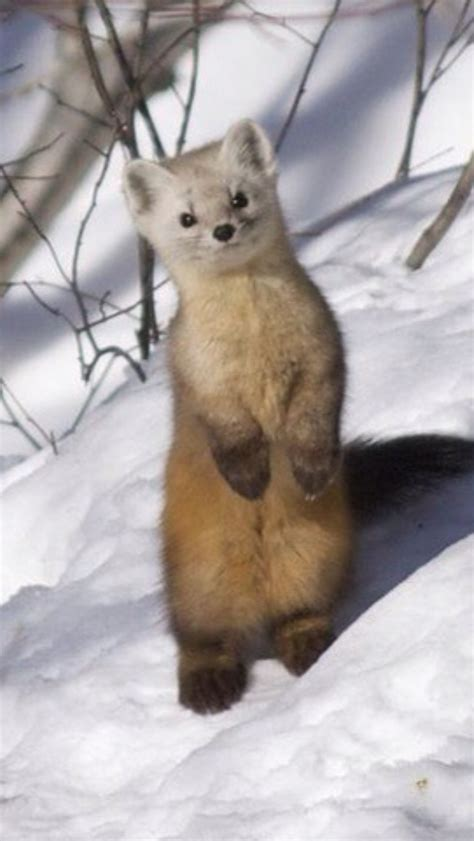 1000 Images About Weasels Stoats And Voles On Pinterest