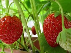 Wann Himbeeren Pflanzen : wann pflanzt man erdbeeren wann pflanzt man erdbeeren ~ Lizthompson.info Haus und Dekorationen