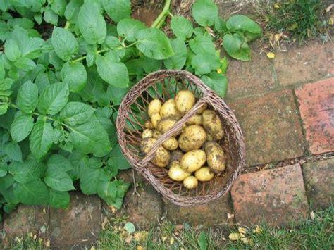 planter les pommes de terre fiches conseils