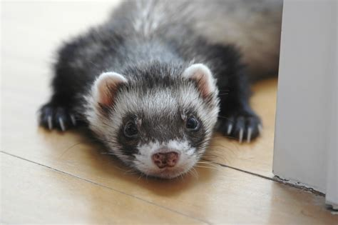 are ferrets pets do ferrets make good pets wide open pets