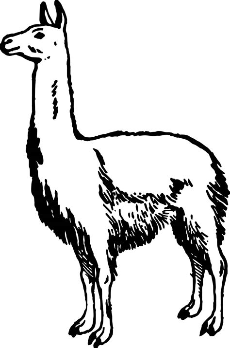 simple alpaca coloring page wecoloringpagecom