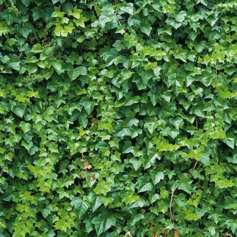 Efeu Hecke Co Sichtschutz Im Garten by Sichtschutz Hecke Schnellwachsend Sichtschutz Pflanzen