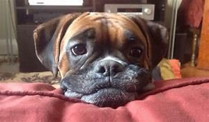 Image Gallery sad boxer