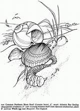 Coloring Pages Shells Sea Adult Seashells Colouring Shell Dover Publications Ocean Sheets Drawing Printable Pyrography Von Seashell Doverpublications Dessin Line sketch template