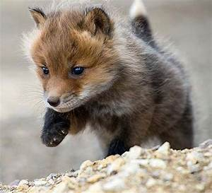 Red Fox Baby | cute/funny animals | Pinterest