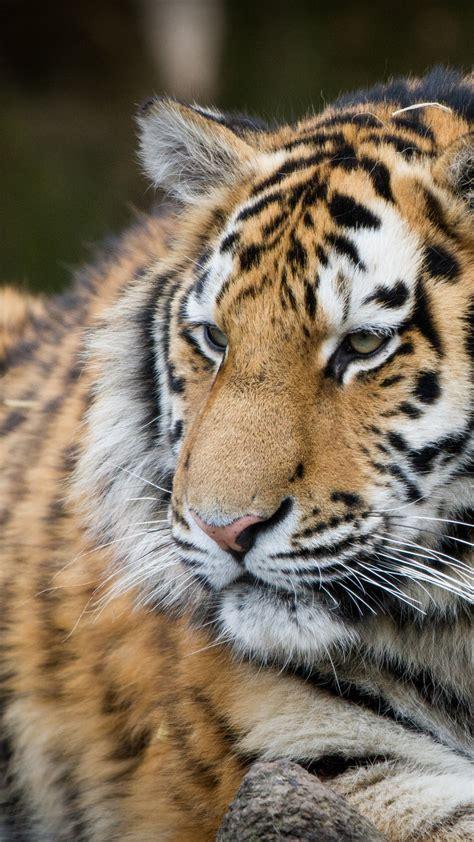 wallpaper tiger zoo hd  animals
