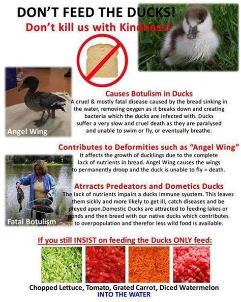 is bread bad for ducks please don t feed bread to ducks kritter kreatures pinterest
