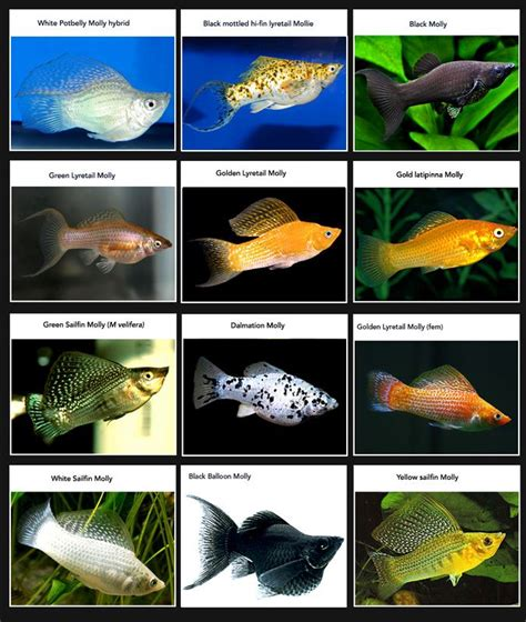 25 best ideas about molly fish on aquaponics system aquarium and freshwater fish tank