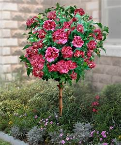 Double Red Hardy Hibiscus Tree