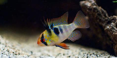 colorful freshwater fish  aquarium guide