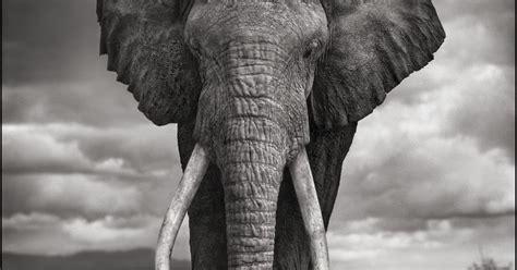 reel foto nick brandt majestic animal portraits