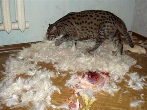 fish for cats russian family keeps pet fishing cat history