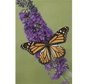 How To Germinate A Butterfly Bush  Home Guides SF Gate