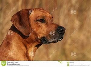 Rhodesian Ridgeback Male Portrait Stock Photography ...