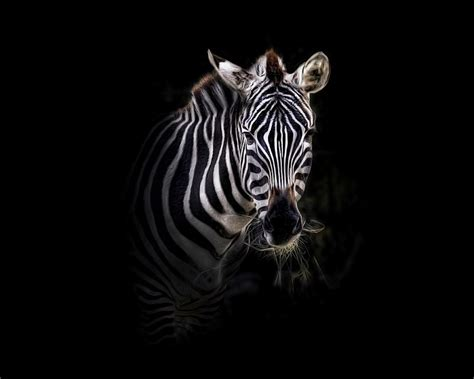 Zebra Photos by Jennine Deloney on Wallpapers and Pictures