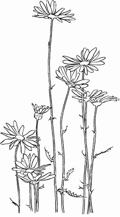 Coloring Daisy Flower Garden Pages