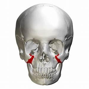 Zygomatic process of maxilla : articulate with zygomatic ...