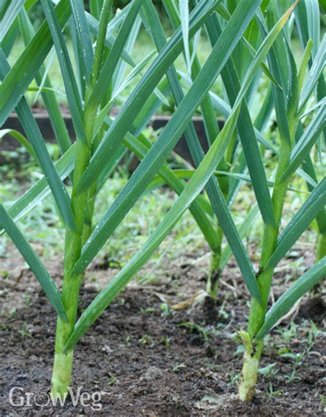 6 top tips for growing garlic