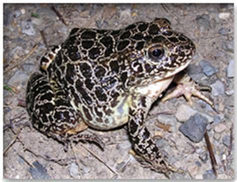 dnr crawfish frog
