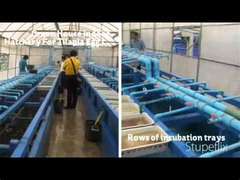tilapia hatchery  mass production  fish fries www