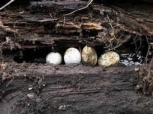 Black Racer Snake Facts, Habitat, Diet, Adaptation, Pictures