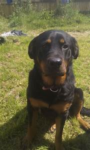 female rottweiler | Grimsby, Lincolnshire | Pets4Homes