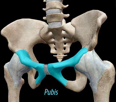 3d skeletal system the pelvic