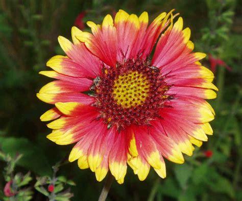 common perennial flowers gaillardia aristata blanket flower common or perennial gaillardia seeds plants
