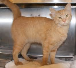 orange tiger cat orange tiger cat breed