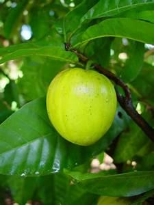 Arbre A Fruit : caribfruits canistel fruits tropicaux ~ Melissatoandfro.com Idées de Décoration