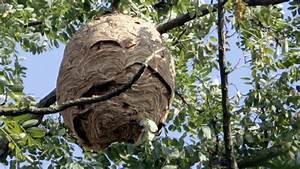Essaim De Frelon : dordogne un nid de frelons asiatiques d truit au fusil ~ Melissatoandfro.com Idées de Décoration