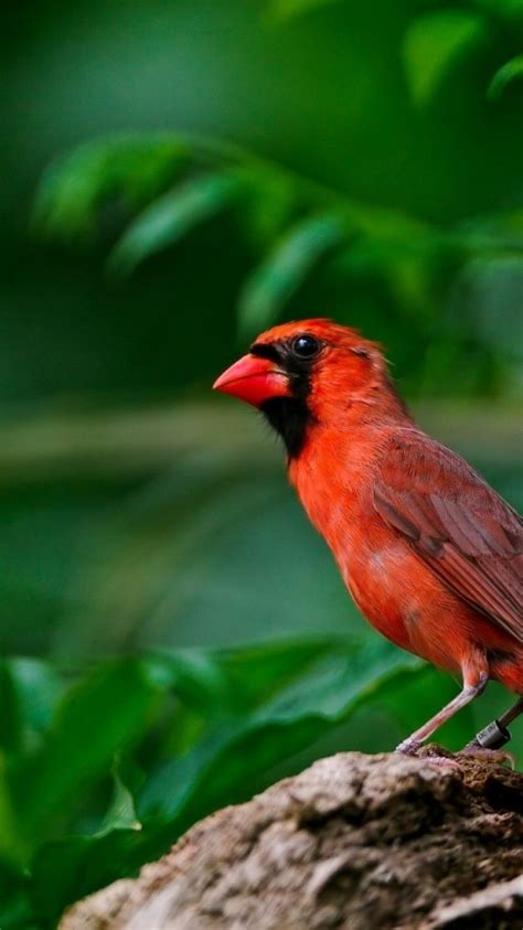 nature birds leaves cardinal red bird wallpaper