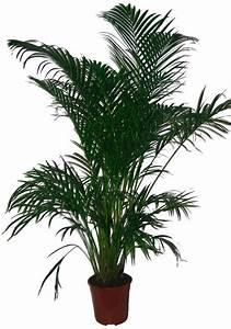 Bilder Von Palmen : zimmerpflanze goldfruchtpalme online kaufen otto ~ Frokenaadalensverden.com Haus und Dekorationen