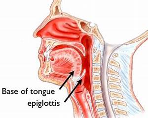 Epiglottis – Definition, Function, Location, Pictures and ...