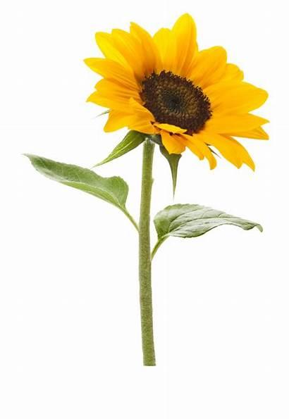 Sunflower Clipart Background Transparent Royalty Sunflowers Clip