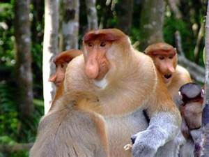 Proboscis Monkey Facts Top 10 Interesting Facts About