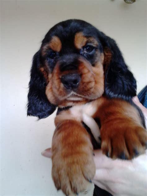 Hush B Ets Er B Ets Puppies For Sale Halifax West Yorkshire Petshomes