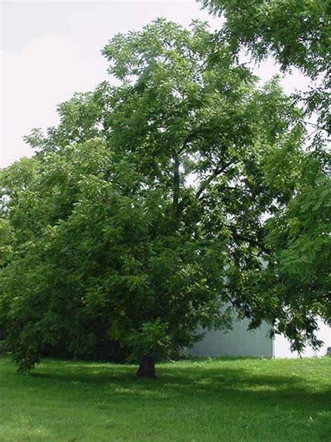 walnut tree walnut tree pictures images facts on black walnut trees