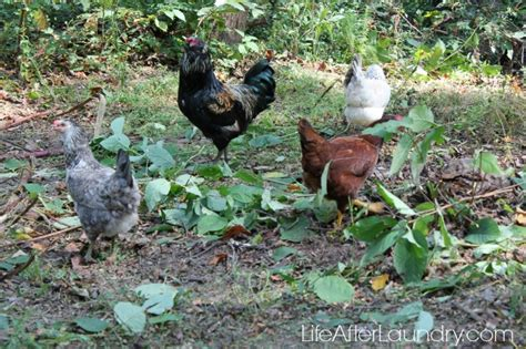 7 Side Effects Of Having Backyard Chickens