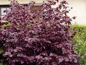 Arbuste À Feuillage Persistant : arbuste pourpre persistant fleur de passion ~ Melissatoandfro.com Idées de Décoration