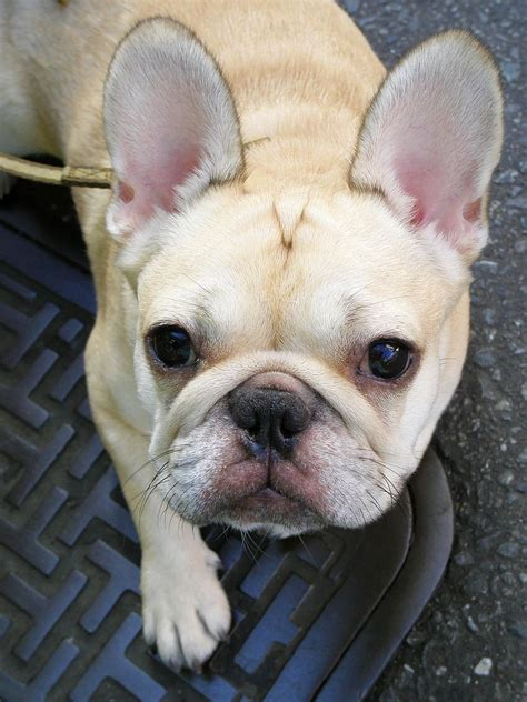 Filecream  Ee  French Bulldog Ee   Jpg