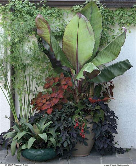Best 25+ Banana plants ideas on Pinterest